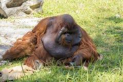一只大公猩猩橙色猴子的图象在草的 图库摄影