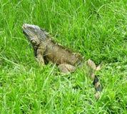 一只大公绿色鬣鳞蜥 免版税库存照片
