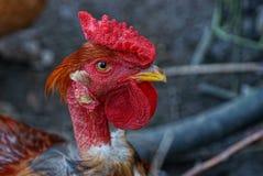 一只大公鸡的头与一把红色梳子的 库存图片