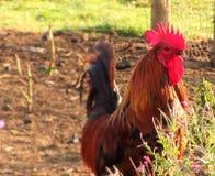 一只大公鸡 图库摄影