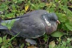 一只大受伤的鸽子 图库摄影