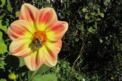 一只大土蜂授粉一朵明亮的黄色橙色红色花大丽花 免版税库存图片