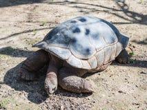 一只大地球乌龟在地面上爬行在一个晴天 免版税库存图片