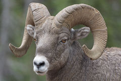 一只大垫铁绵羊的特写镜头 免版税库存照片