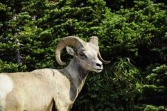 一只大垫铁绵羊的画象 免版税库存照片