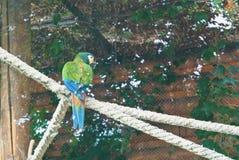一只大多彩多姿的蓝绿色鹦鹉坐厚实的被编织的生产纪录 免版税库存图片