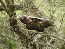 一只大夜孔雀眼睛的蝴蝶 免版税库存图片
