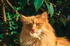 一只大姜猫洗涤 库存照片