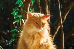 一只大姜猫洗涤 库存图片