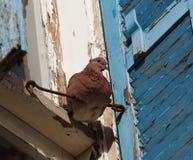 一只大棕色鸠坐哎呀反对老墙壁和蓝色快门,老贾法角,以色列背景  库存照片