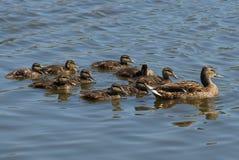 一只大棕色鸭子和小鸭子横跨水游泳 免版税库存图片