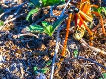 一只大橙色蚂蚱的腿 免版税库存照片