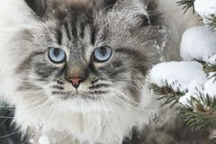 一只大毛茸的猫的面孔在树之间的雪寻找在冬天 库存图片
