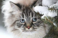 一只大毛茸的猫的面孔在树之间的雪寻找 免版税库存照片