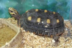 一只大沼泽乌龟 库存图片