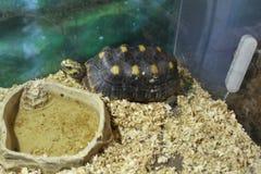 一只大沼泽乌龟 免版税图库摄影