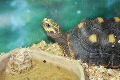 一只大沼泽乌龟 库存照片