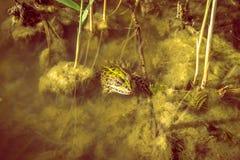 一只大淡水青蛙在浮渣充满的池塘 库存图片