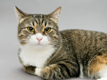 一只大灰色镶边猫的画象 库存图片