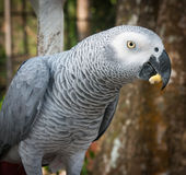 一只大灰色鹦鹉的画象,酸值苏梅岛,泰国 免版税库存图片
