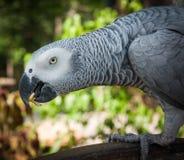 一只大灰色鹦鹉的画象,酸值苏梅岛,泰国 库存图片