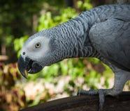 一只大灰色鹦鹉的画象,酸值苏梅岛,泰国 免版税图库摄影