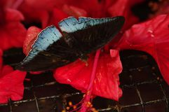 一只大热带棕色和灰色蝴蝶,宏观射击 库存图片