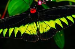 一只大热带黑和绿色蝴蝶,宏观射击 库存照片