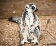 一只大狐猴坐道路 免版税库存照片