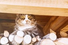 一只大猫坐木头在屋顶下 免版税库存图片