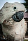 一只大玫瑰色鹦鹉的画象,酸值苏梅岛,泰国 免版税库存图片
