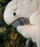 一只大玫瑰色鹦鹉的画象,酸值苏梅岛,泰国 库存照片