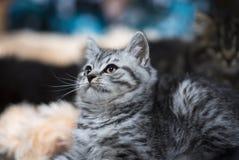一只大理石英国猫 在被弄脏的背景的小猫 defocused 免版税库存照片