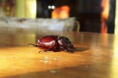 一只大甲虫在木桌里 免版税库存照片