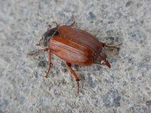 一只大甲虫的宏观细节 库存照片