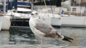 一只大白色海鸥走海湾和系泊的特写镜头射击  在a的美丽的大白色海鸥 股票视频