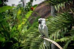 一只大白色美冠鹦鹉在热带绿色森林里 免版税库存图片