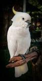一只大白色鹦鹉,酸值苏梅岛的画象与黄色装缨球的, 免版税库存照片