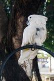 一只大白色鹦鹉 图库摄影