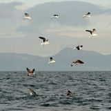 一只大白鲨鱼和海鸥的飞翅 免版税库存图片