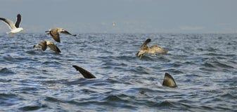 一只大白鲨鱼和海鸥的飞翅 免版税图库摄影