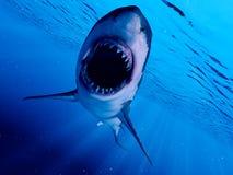 一只大白鲨鱼 皇族释放例证
