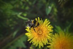 一只大粗野的土蜂从一朵明亮的黄色蒲公英花收集花蜜 图库摄影