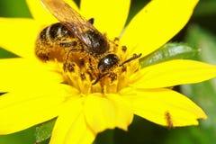 一只大粗野的土蜂的一张宏观照片从一朵明亮的黄色蒲公英花吮并且收集花蜜 免版税库存照片