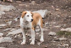 一只大红白白色小狗在地面上的一多云天站立 库存照片
