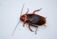 一只大红色甲虫的照片在白色塑胶容器边缘的 免版税图库摄影
