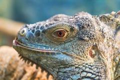 一只大绿色普通的鬣鳞蜥的头,眼睛看 免版税库存照片
