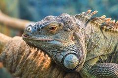 一只大绿色普通的鬣鳞蜥的头,眼睛调查Th 免版税库存图片