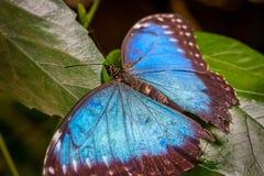 一只大美丽的蓝色蝴蝶的特写镜头坐绿色叶子 免版税库存照片