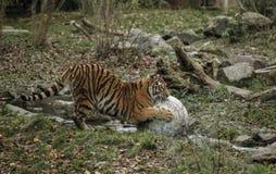 一只大老虎在水中使用与一个石球在奔跑的小河在动物园里 图库摄影
